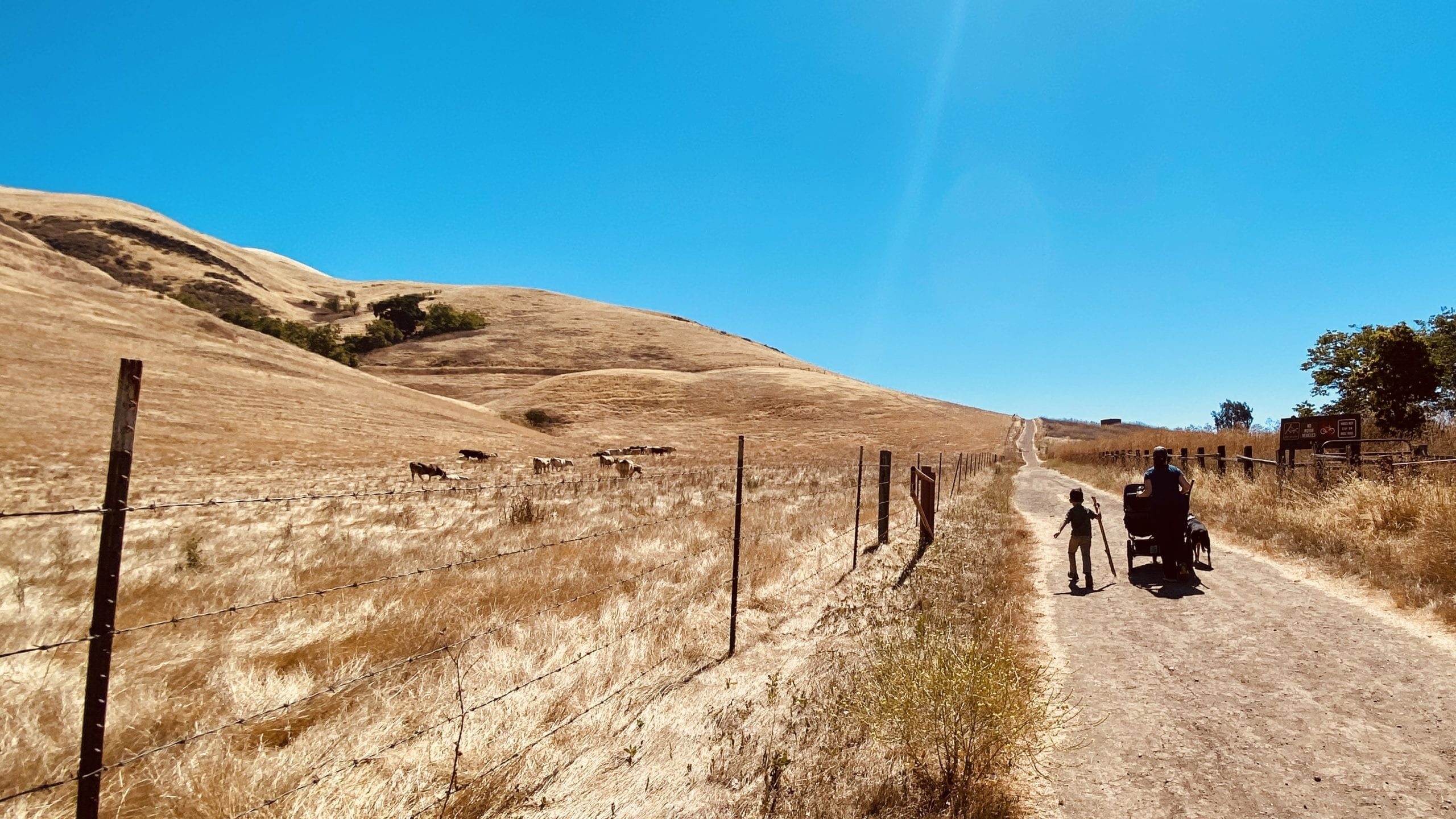 Cows greet us as we start the Tularcitos Trail: South Bay Hikes with Kids