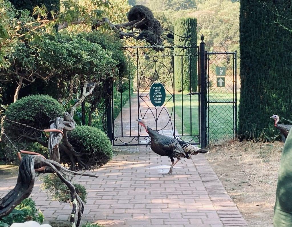 Bay Area Gardens - Filoli Turkeys