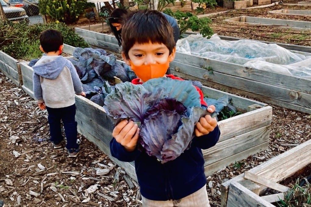 JJ's first cabbage harvest at Taylor Street Farm