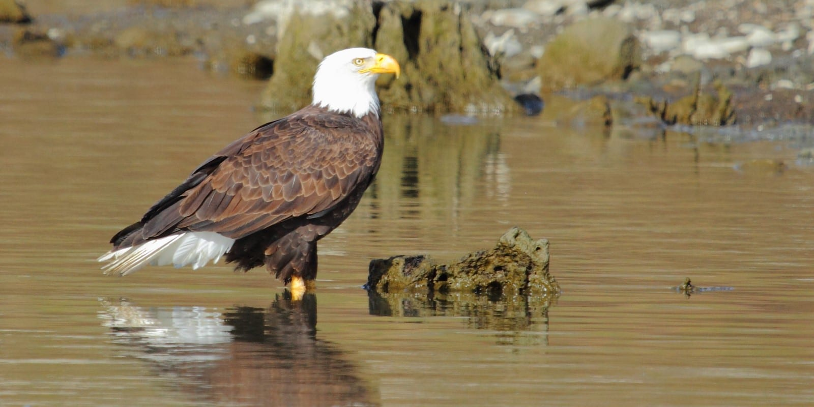 Bald Eagle in the water at Lake Cachuma