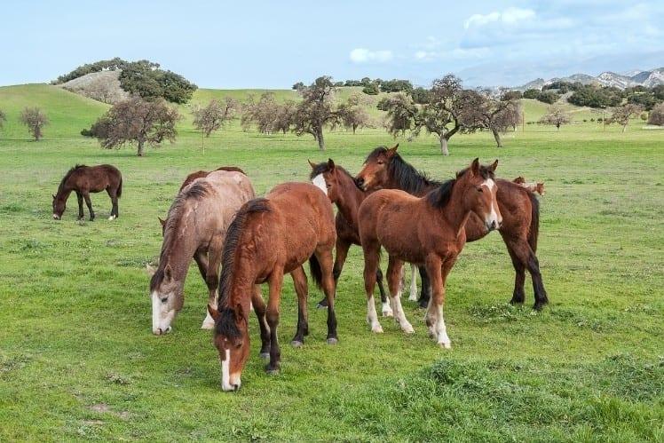 Horses in Santa Ynez valley