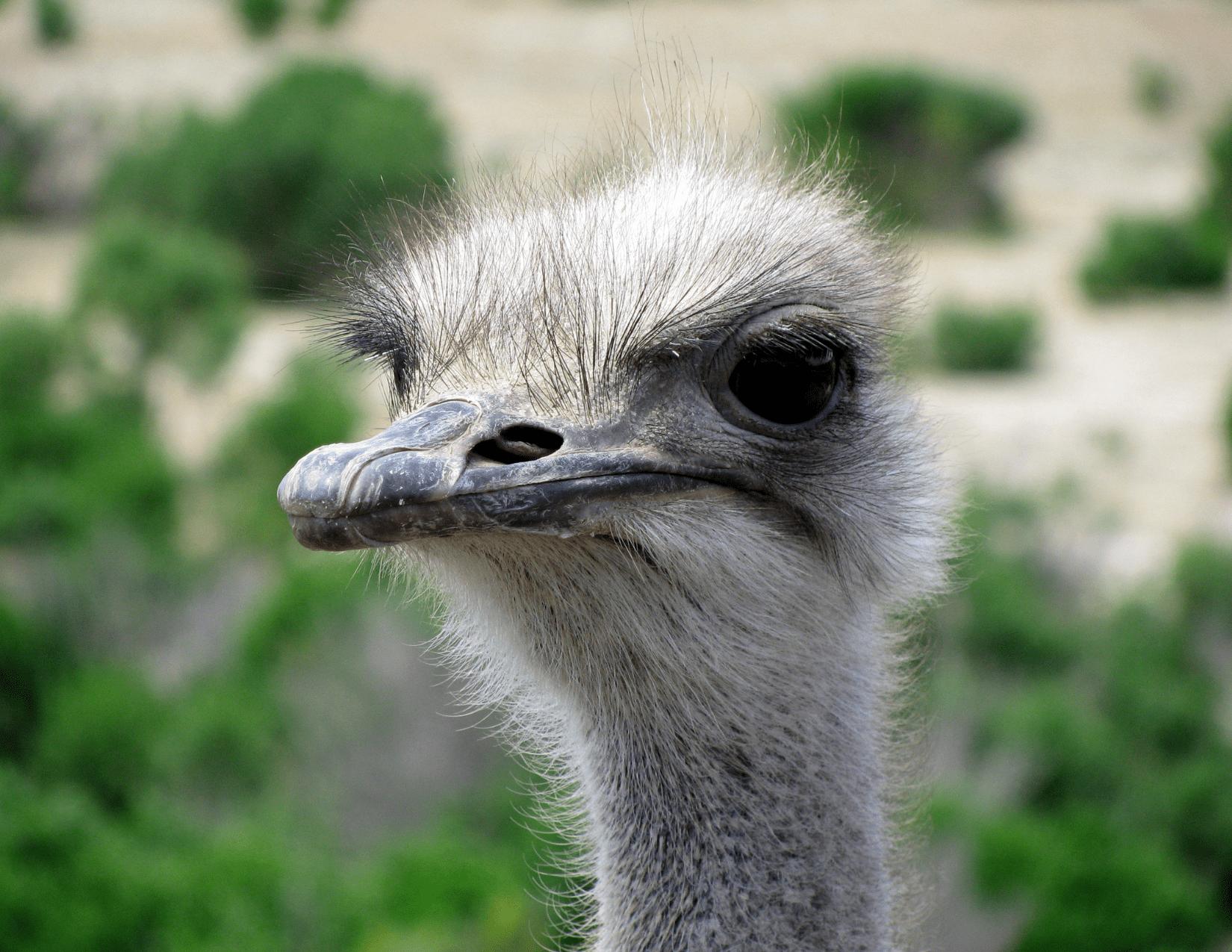 Ostrich at Ostrichland USA