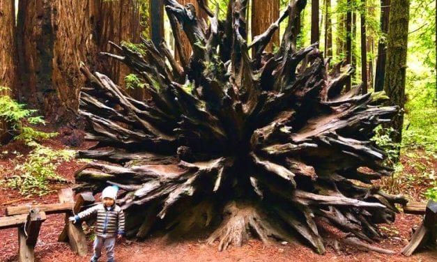 Bug by giant tree roots in Armstrong Woods, January 2020. A family hike in Armstrong Woods is a favorite Russian River Family Activity