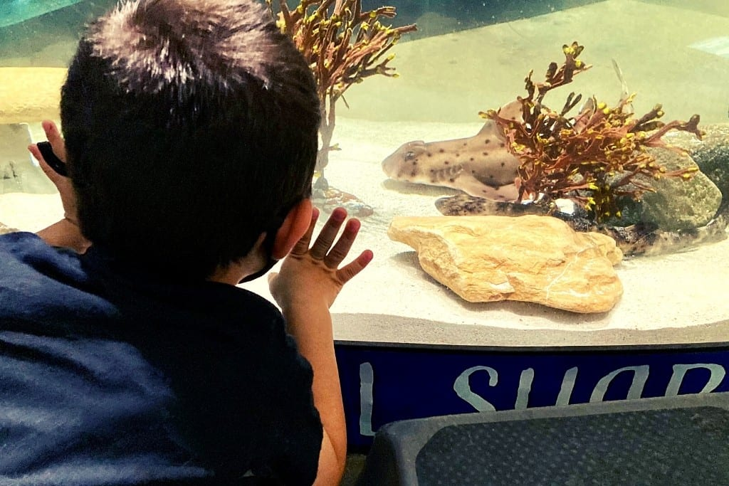 Bug looking at the swell sharks at the Central Coast Aquarium