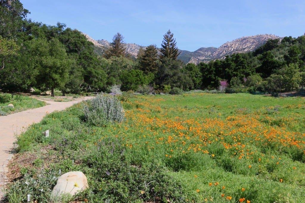 Santa Barbara Botanical Gardens, poppies in bloom along a garden trail