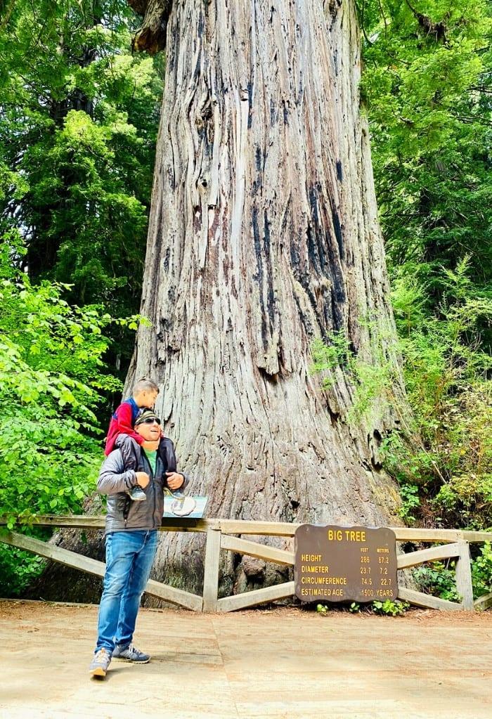 Looking up at Big Tree