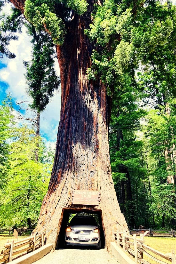 Driving through the Chandelier Tree, an interesting way to kick off or conclude a Highway 1 Road Trip