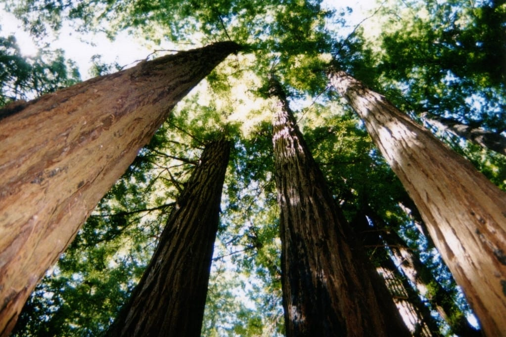 View looking up at the redwood canopy in Muir Woods. The beautiful woods are accessible and easy to explore, making it a wonderful addition to any Highway 1 Road Trip