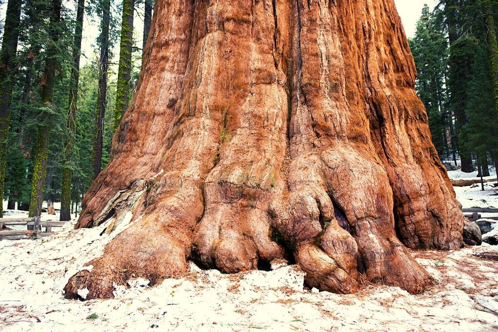 Base of the General Grant Tree_Kings Canyon National Park