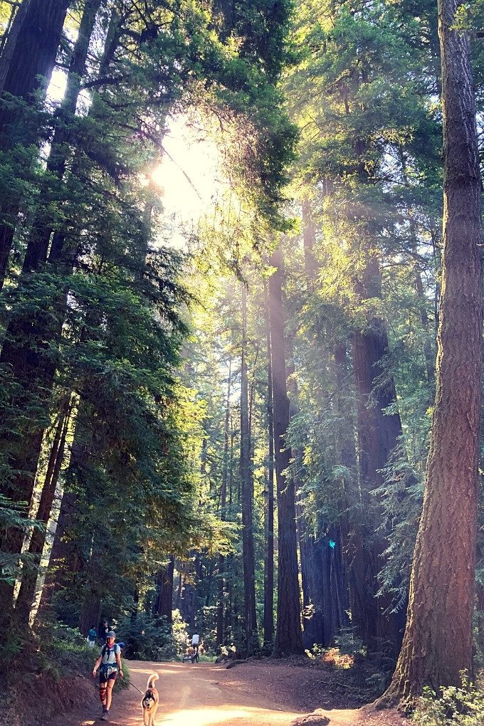 A summer walk on the dog-friendly Pipeline Trail in Henry Cowell State Park