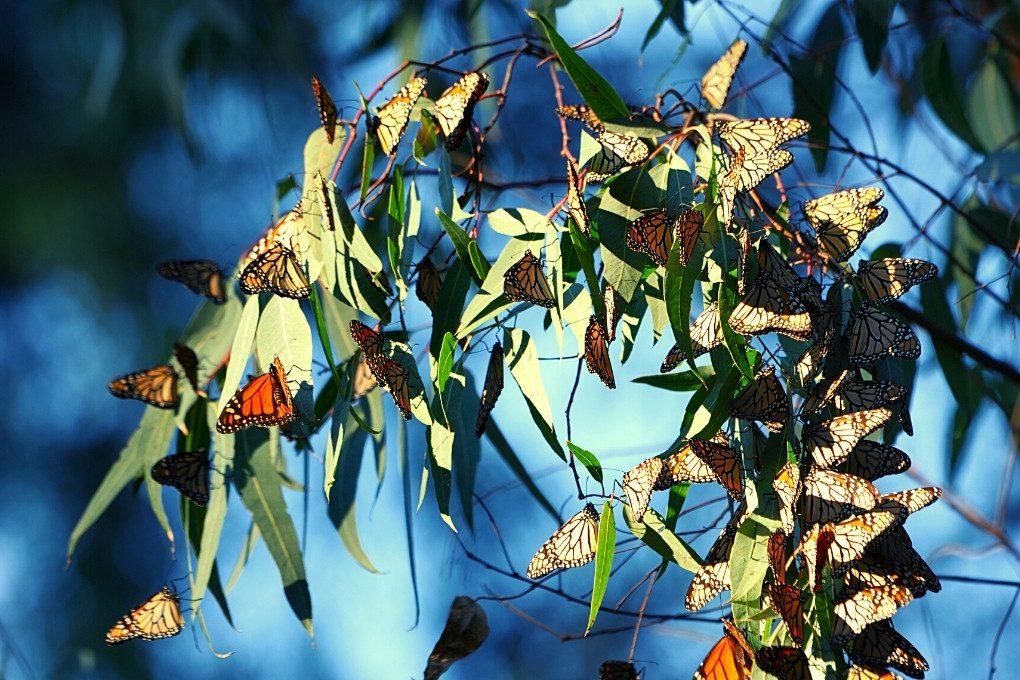 Monarch butterflies in a Eucalyptus Tree