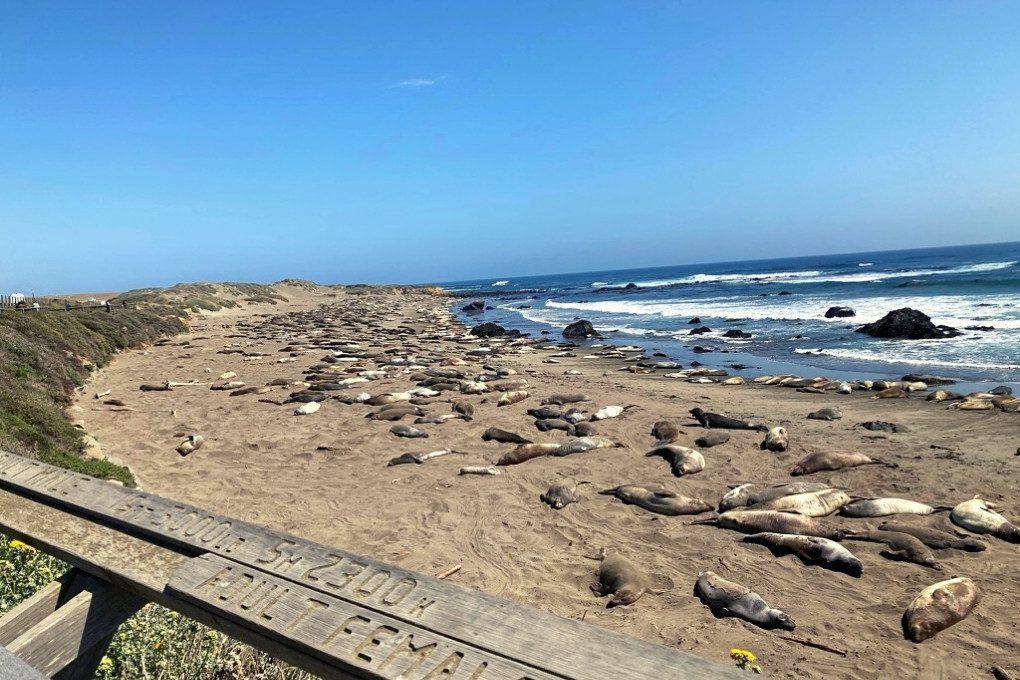 Sea Lions lounging at Piedras Blancas